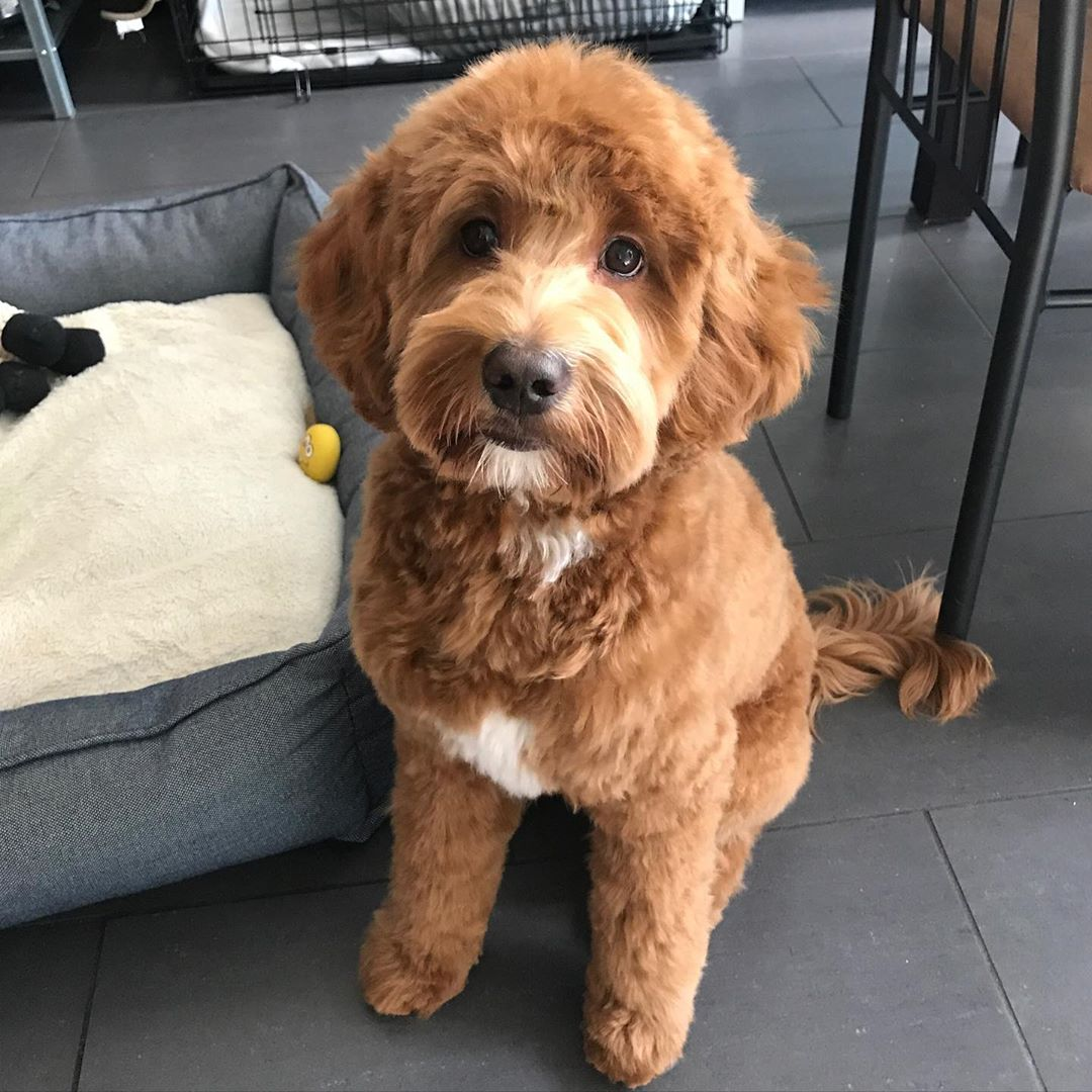 labradoodle teddy bear haircut