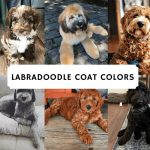 All varieties of Labradoodle Colors
