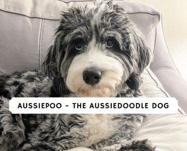 Aussiepoo - The Aussiedoodle Dog