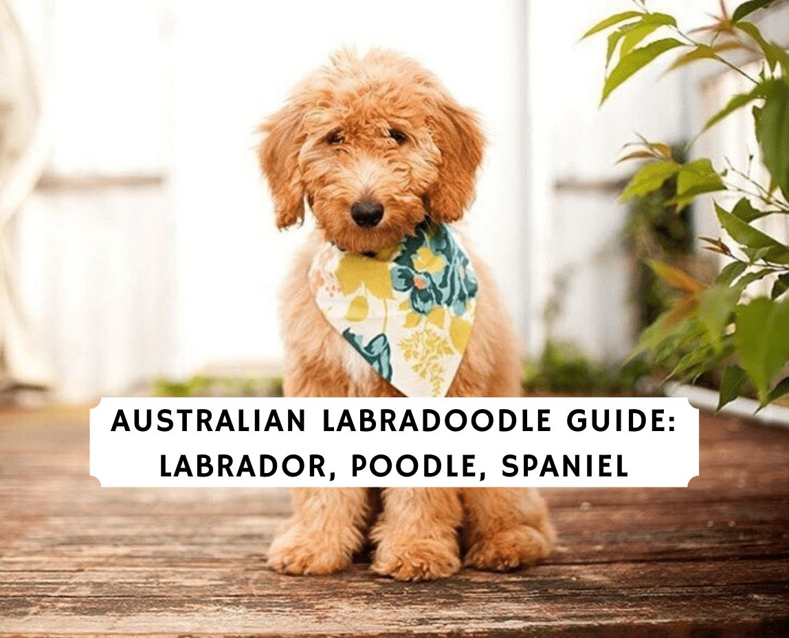 Australian Labradoodle Guide 2020 All You Need To Know We Love Doodles