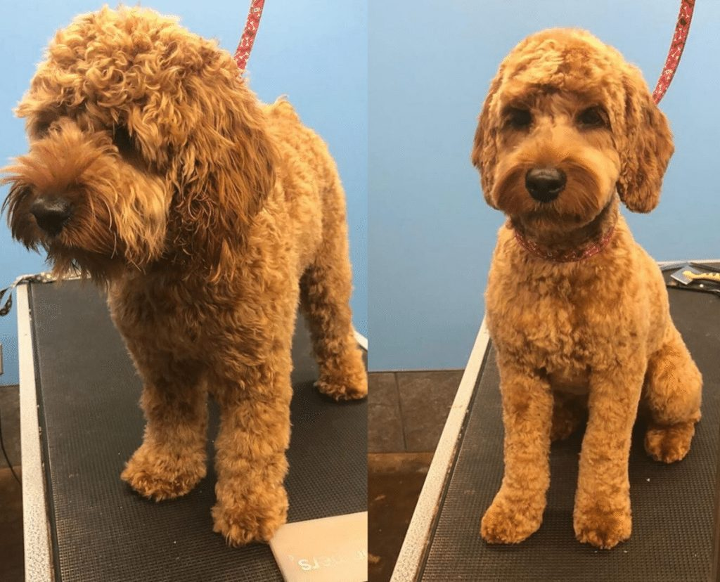 Cockapoo before and after grooming picture