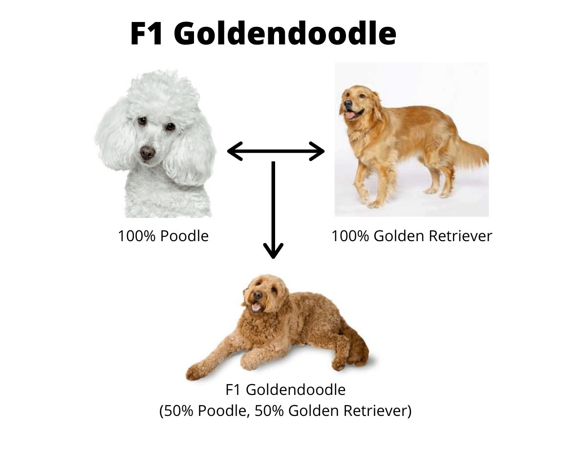 F1 Goldendoodle Explained