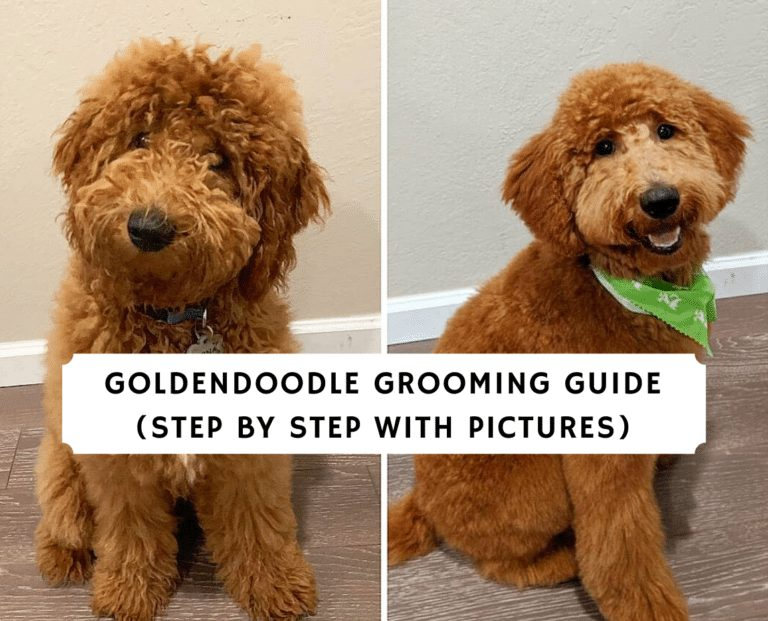 Goldendoodle Grooming Guide (Step by Step with Pictures)