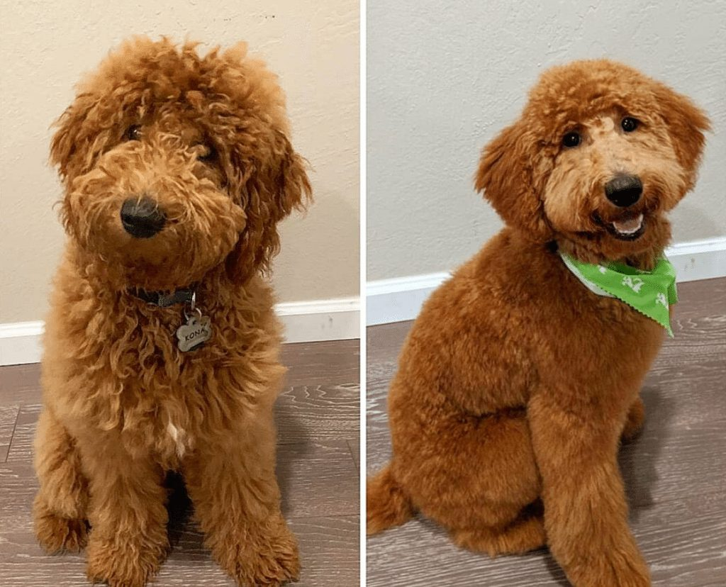 Goldendoodle Grooming before and after picture 1 1024x828 1