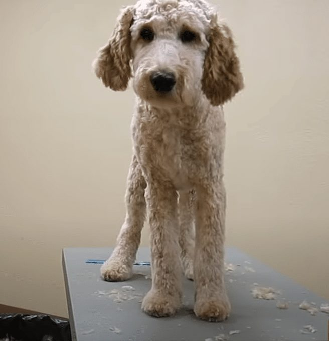 Goldendoodle grooming finishing touches