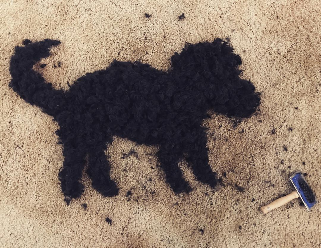 Goldendoodle hair after brushing