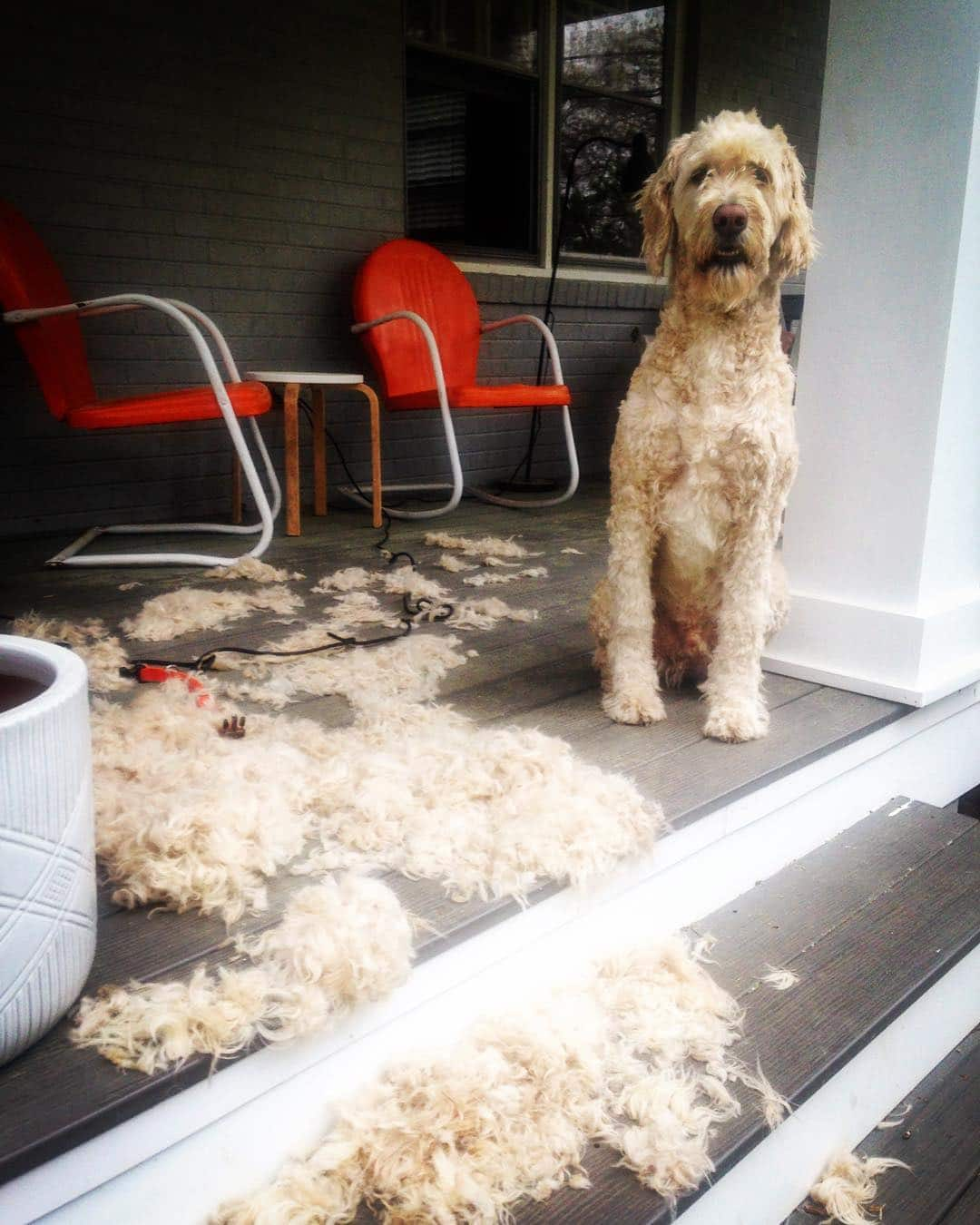 Goldendoodle that shed lots of hair