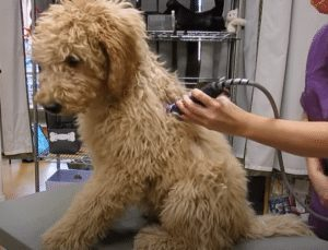 Grooming your labradoodle