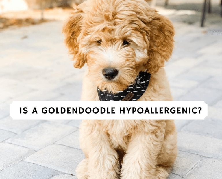 Is a Goldendoodle Hypoallergenic_