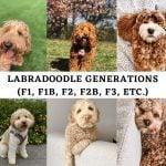 Labradoodle Generations (F1, F1B, F2, F2B, F3, etc.)