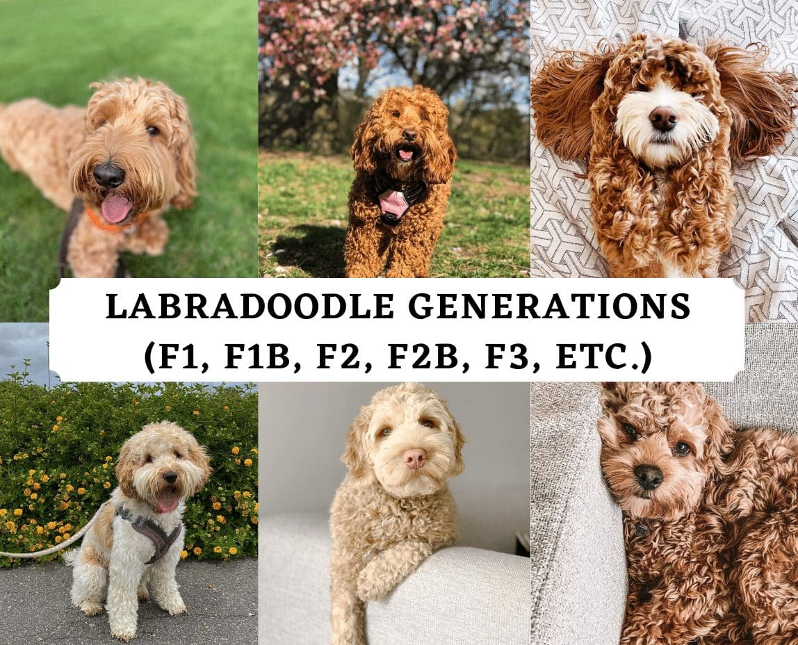Top Labradoodle Generations F1 F1b F2 F2b F3 We Love Doodles