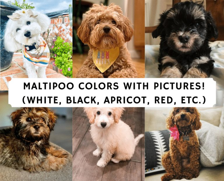 Maltipoo Colors with Pictures White Black Apricot Red etc. 768x621 1