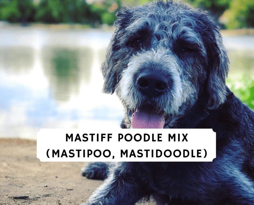 Mastiff Poodle Mix (Mastipoo, Mastidoodle)
