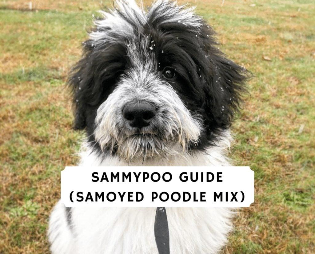Sammypoo Guide Samoyed Poodle Mix 1 1024x828 1