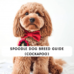 Spoodle dog breed guide (cockapoo)