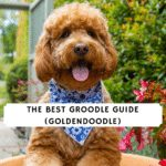 The Best Groodle Guide (Goldendoodle)