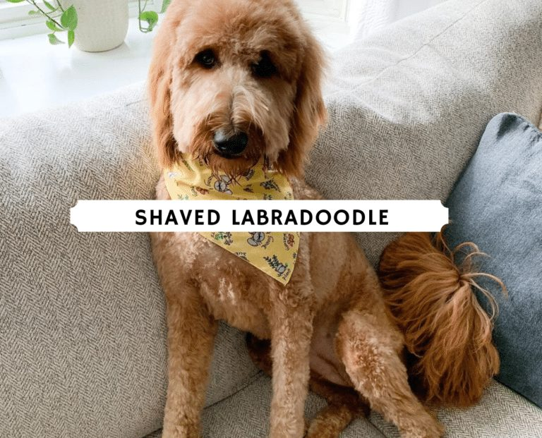 The Shaved Labradoodle A Great Grooming Style 1 768x621 1