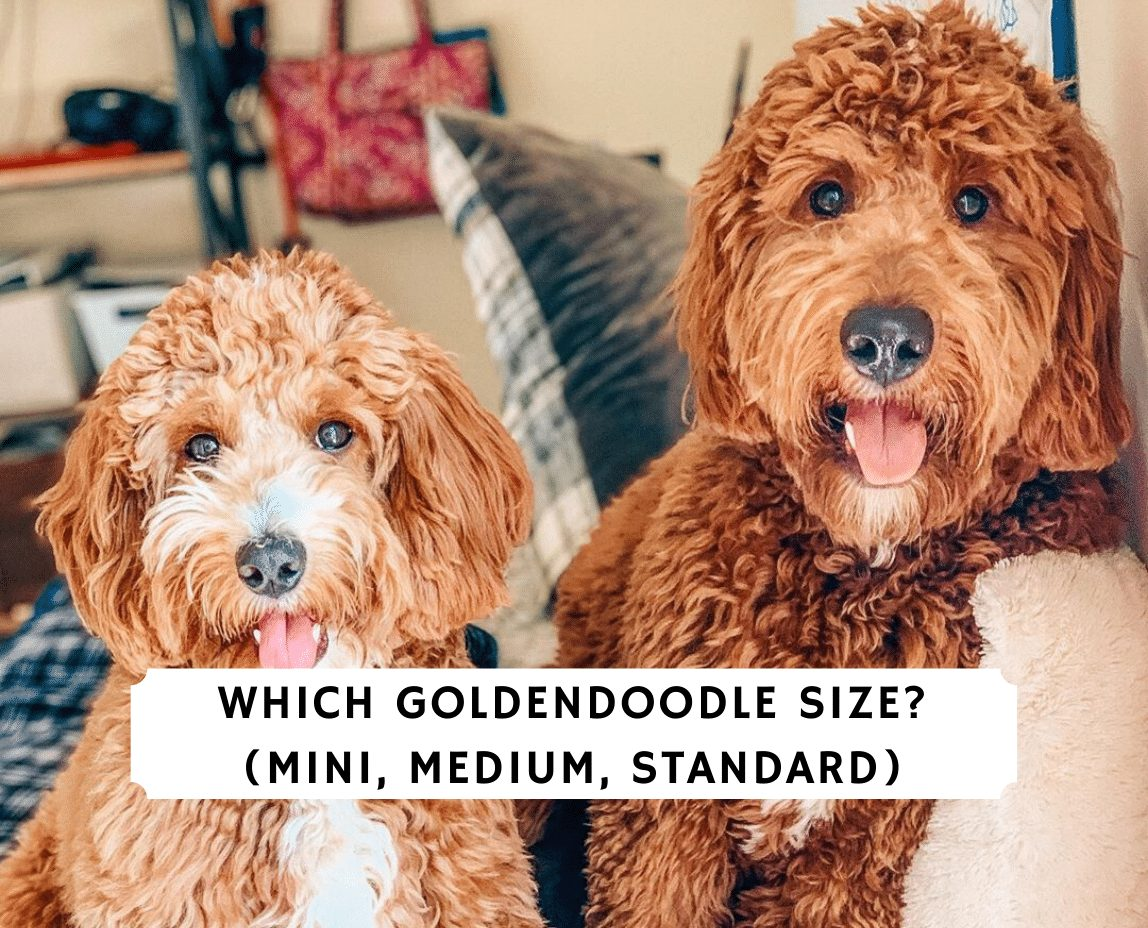 Which Goldendoodle Size Mini Medium Standard We Love Doodles