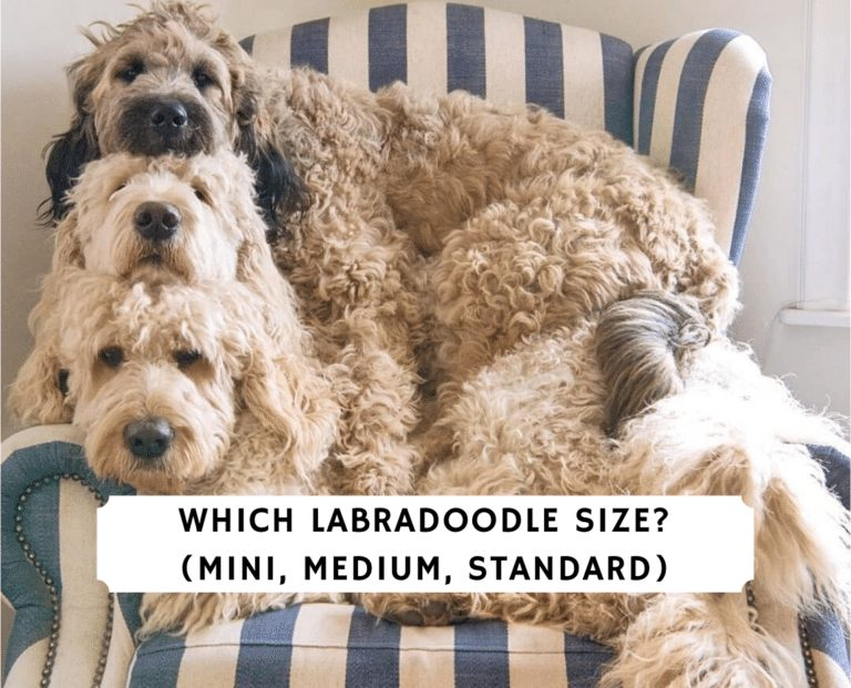 Which labradoodle Size_ (Mini, Medium, Standard)
