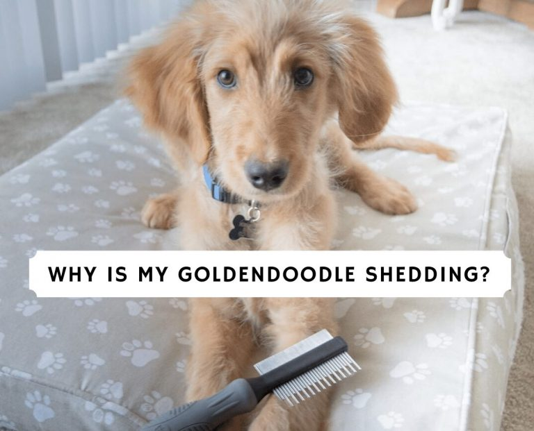 Why is my Goldendoodle Shedding_
