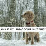 Why-is-my-Labradoodle-shedding_