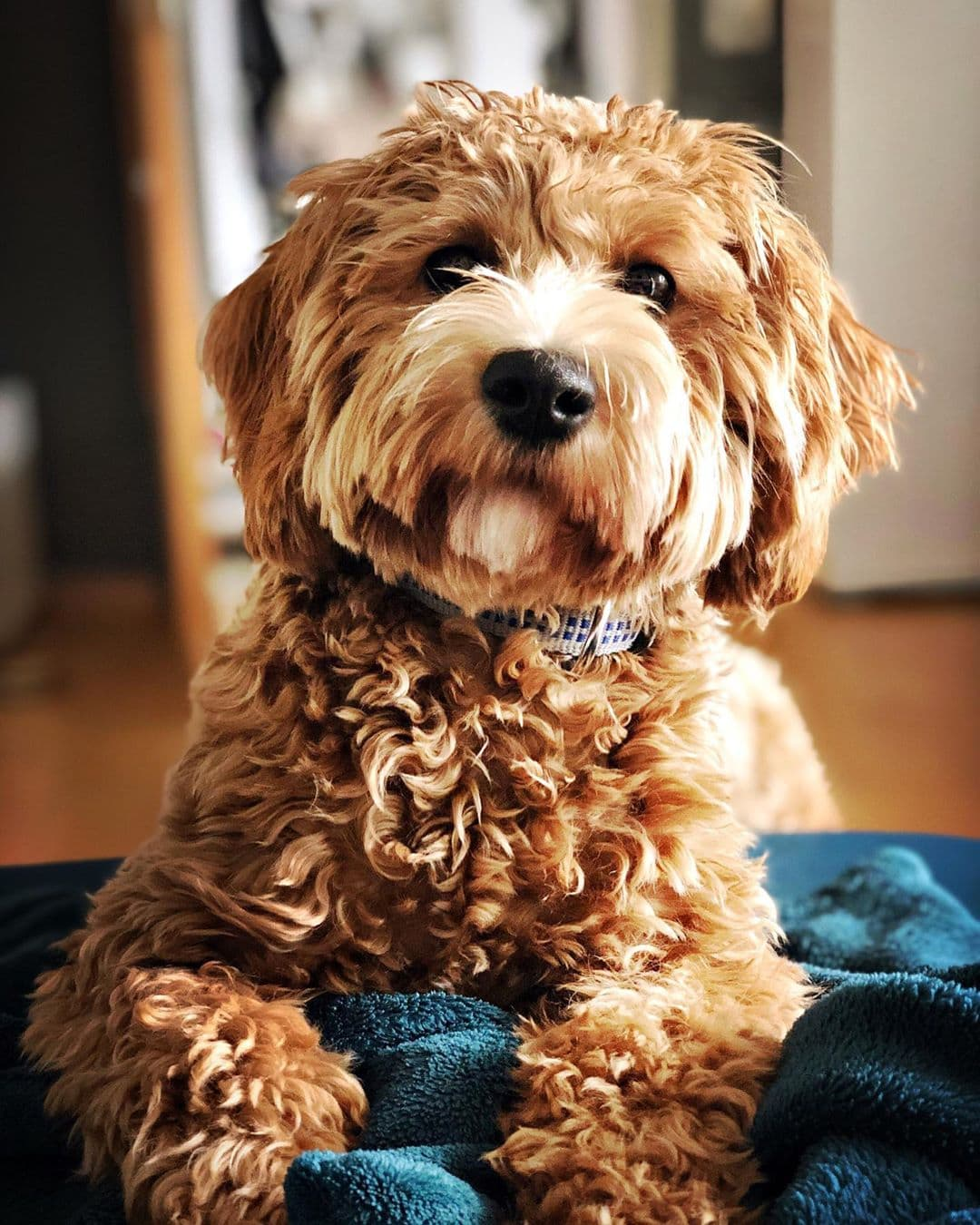 apricot labradoodle color and gold labradoodle color