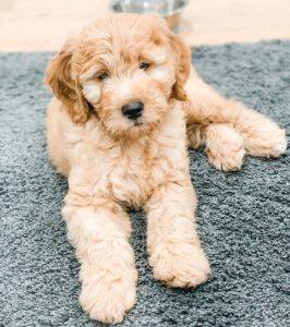are goldendoodles more hypoallergenic than other dogs