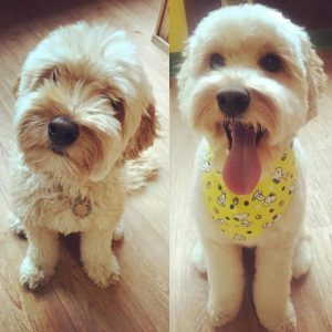 before and after grooming labradoodle