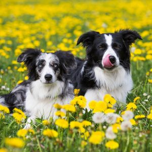 border collie picture