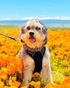 border doodle dog breed
