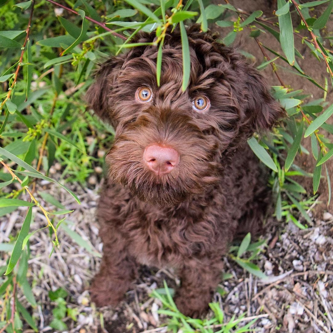 chocolate labradoodle and brown labradoodle