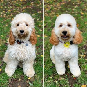 cockapoo grooming before and after picture