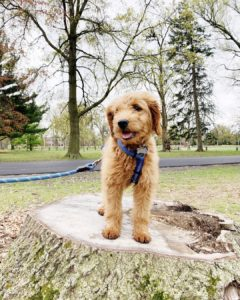 different goldendoodle sizes