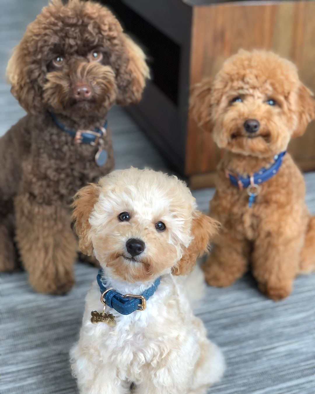 different types of poodles