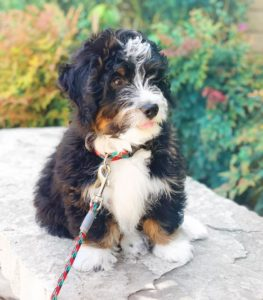 f1 bernedoodle picture