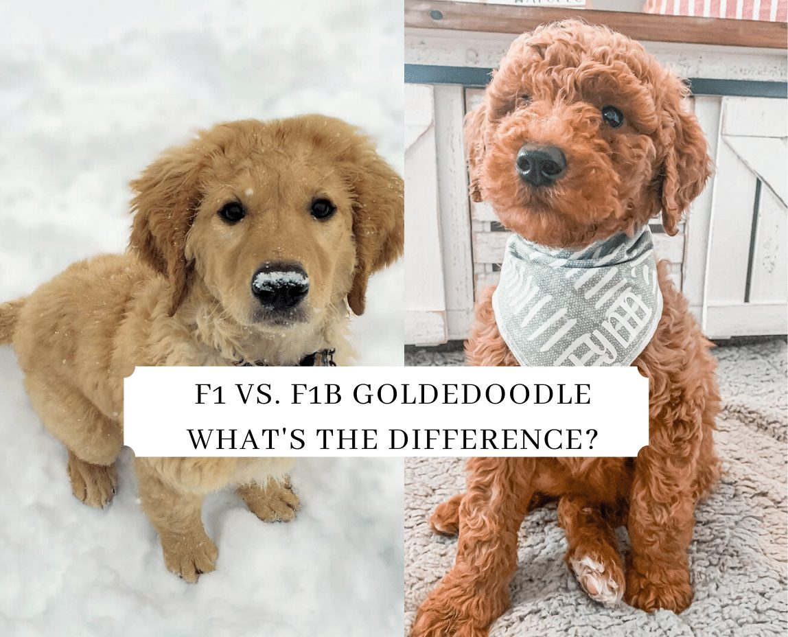 F1 Vs F1b Goldendoodle What S The Difference We Love Doodles
