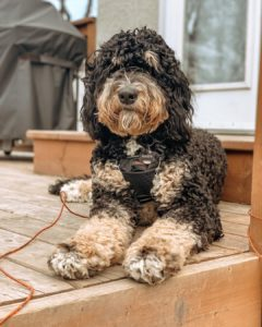 f1b bernedoodle picture