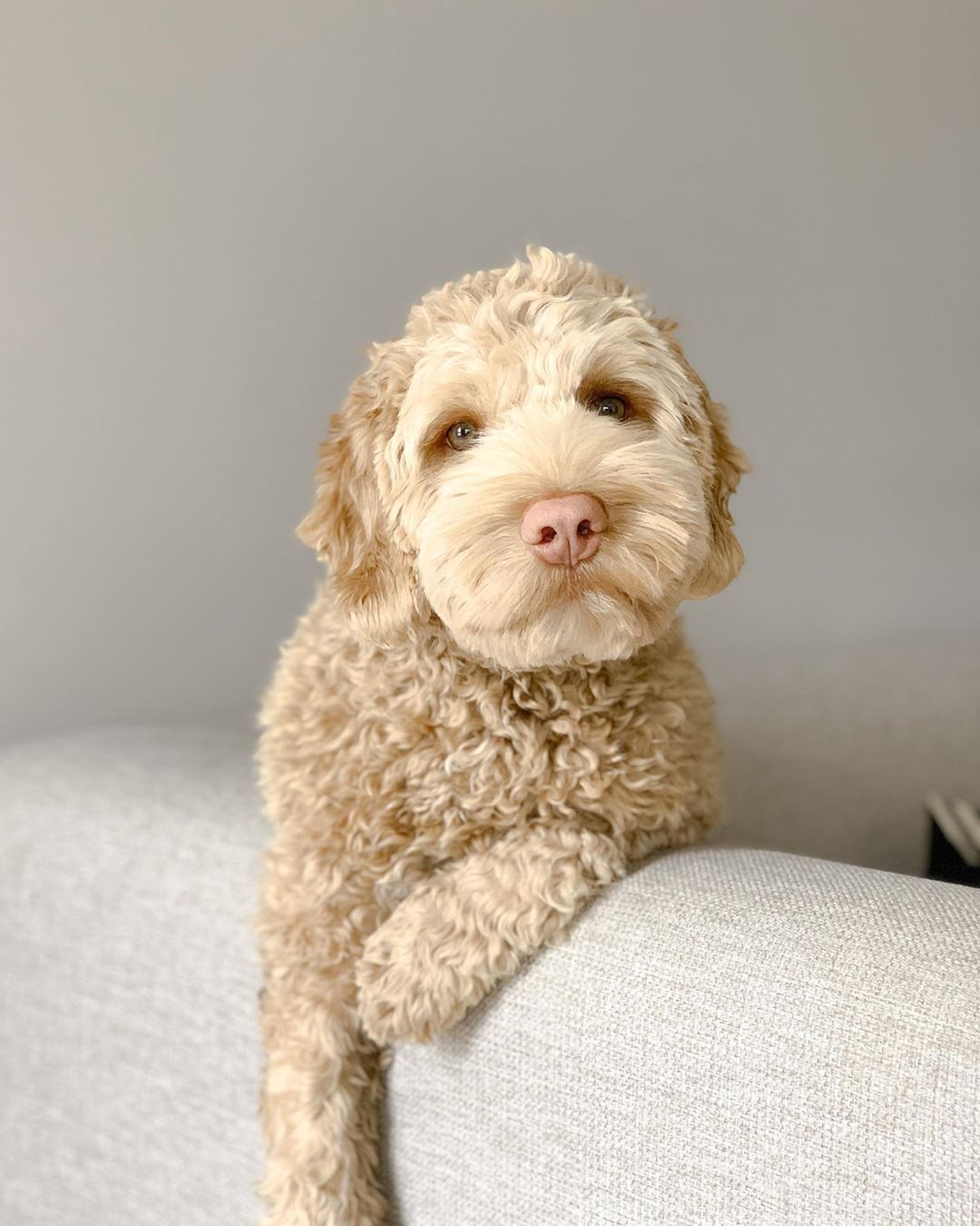 f1b labradoodle picture