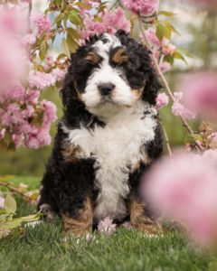 f1bb bernedoodle picture
