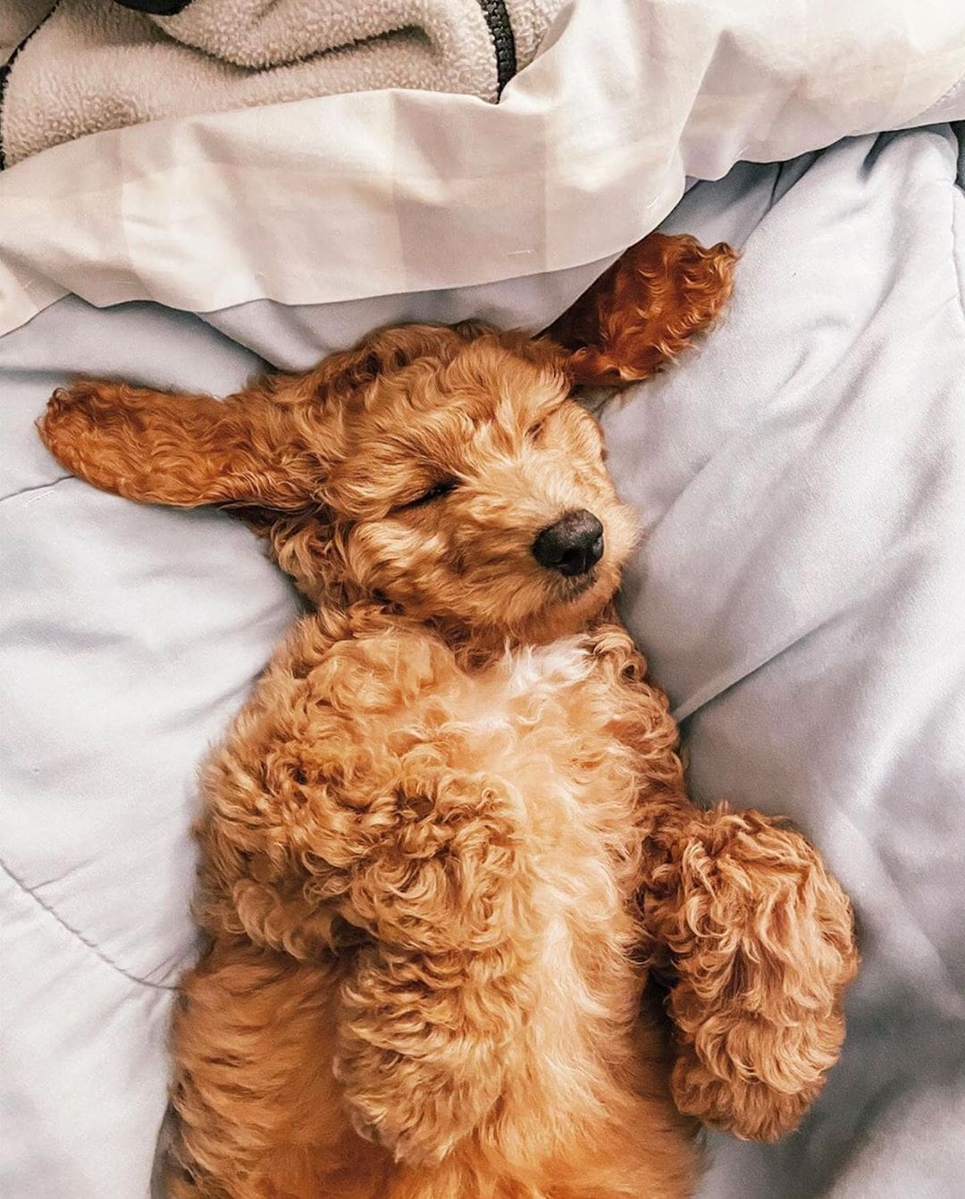 f1bb goldendoodle picture