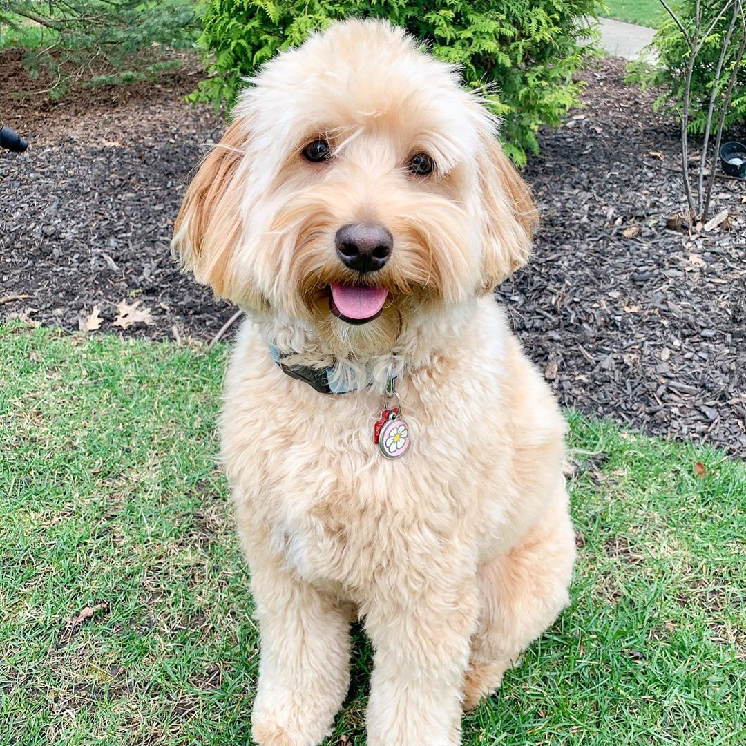 f2 goldendoodle picture