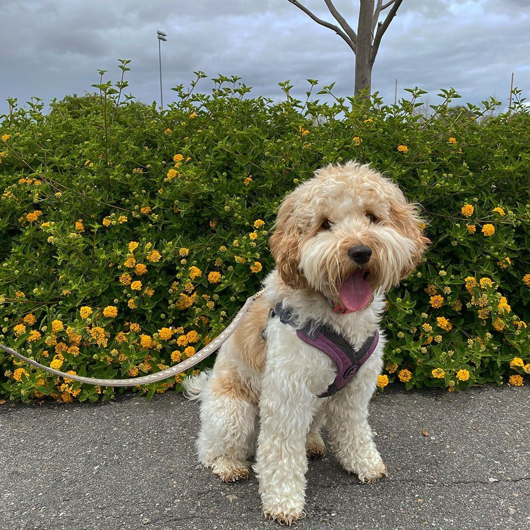 f2 labradoodle picture
