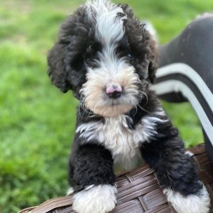 f2b bernedoodle picture