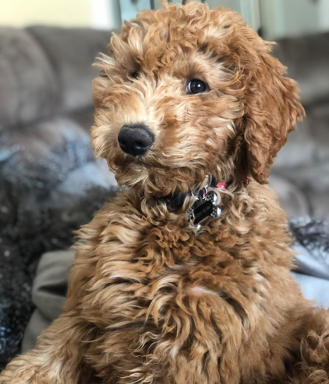 f2b goldendoodle picture