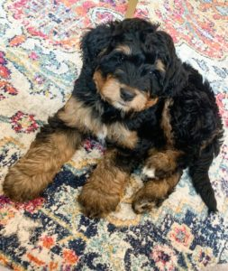 f2bb bernedoodle picture