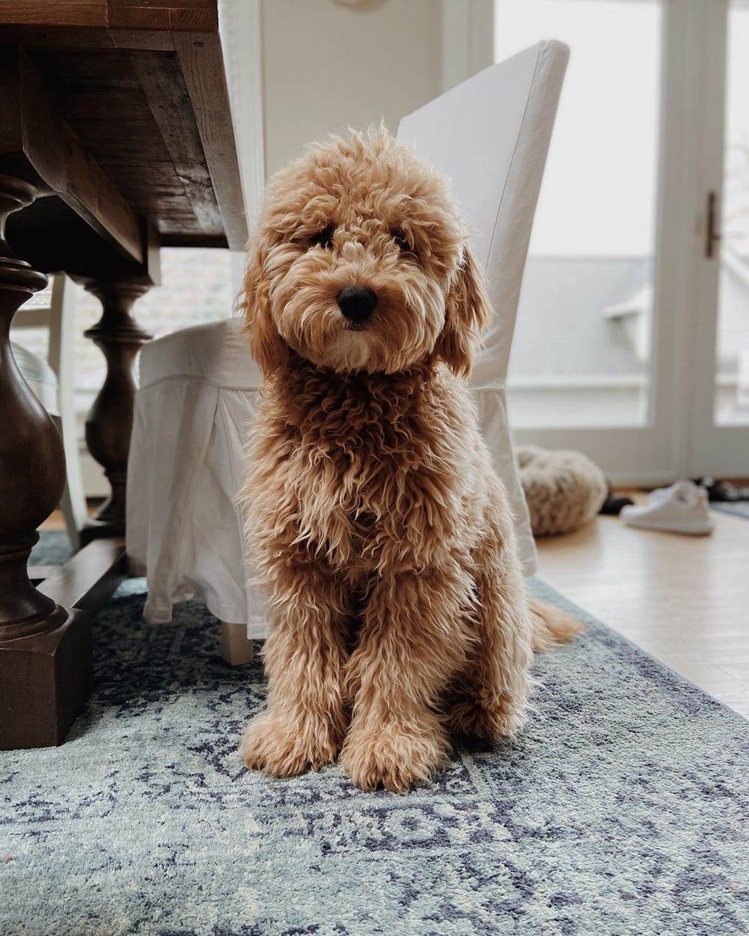 f3 goldendoodle or multi-generation goldendoodle picture