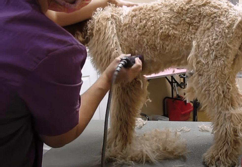 goldendoodle grooming belly