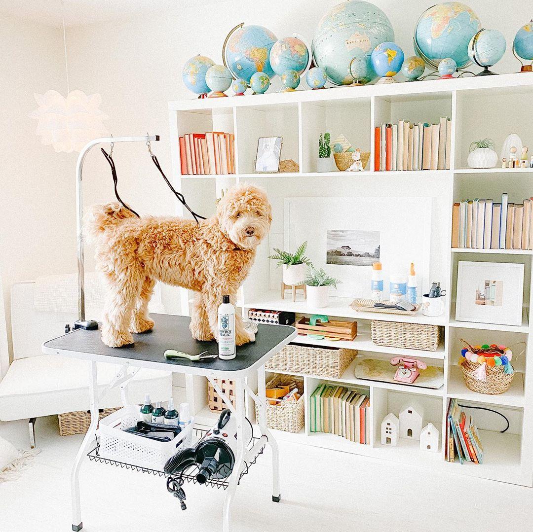 goldendoodle grooming setup
