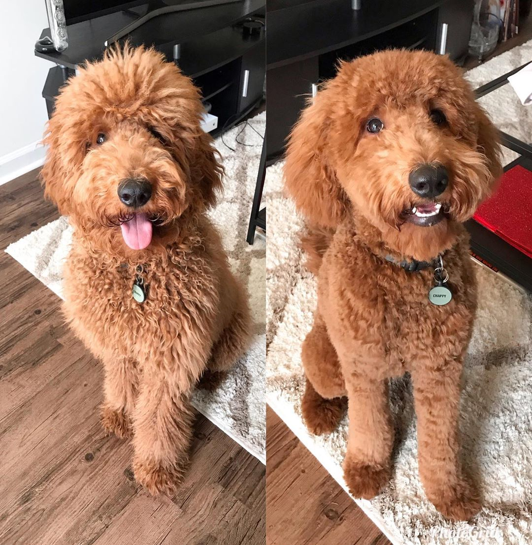 goldendoodle haircut before and after