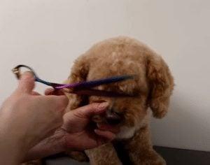 grooming cockapoo eyebrows